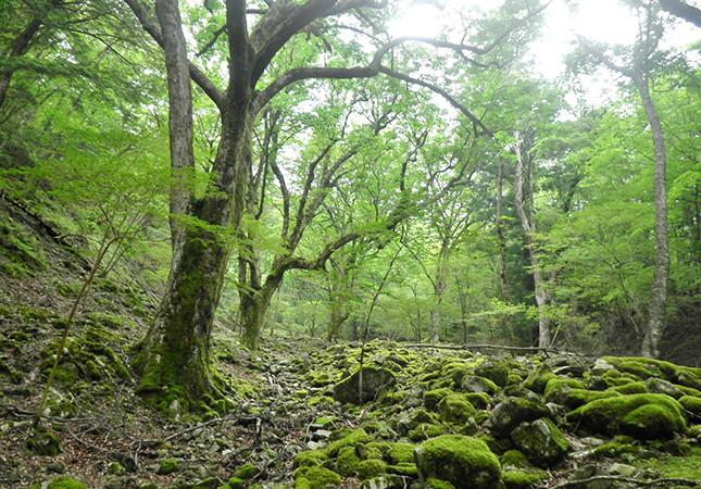 前鬼のトチノキ巨樹群